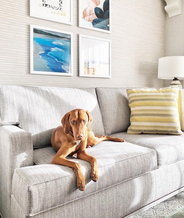 Vizsla puppy   Hyatt Regency Huntington Beach