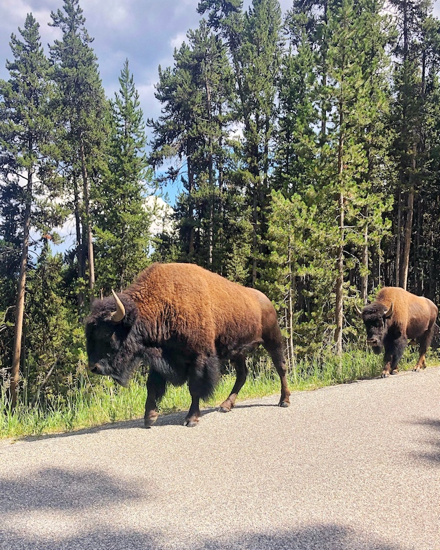 Bison in Yellowstone National Park | My Style Diaries blogger Nikki Prendergast